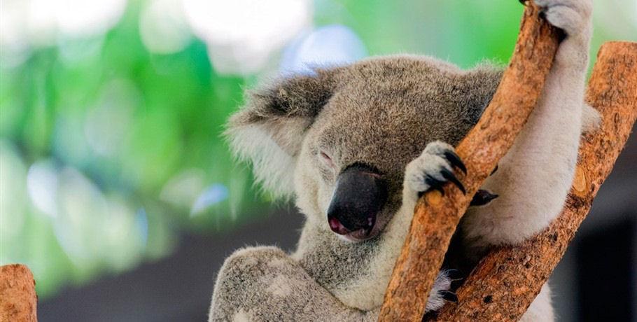 Koalas Hamilton Island Wild Life